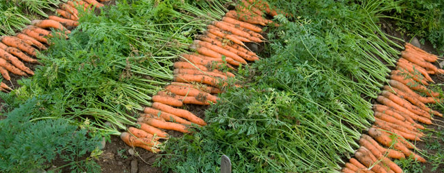 Carrot Harvesting, Handling & Storage | Johnny's Selected Seeds
