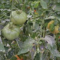 Powdery mildew on tomato