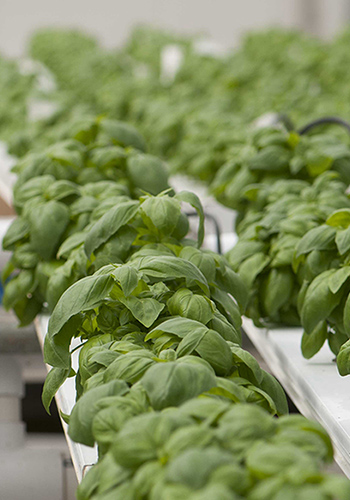 Hydroponic basil at Olivia's Garden