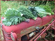 Selwood Greens harvest
