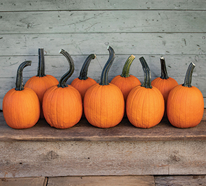 Pipsqueak specialty pumpkin