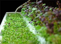 All microgreens can be grown hydroponically