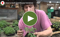 Learn to graft tomatoes
