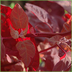 Red Orach - aka Mountain Spinach