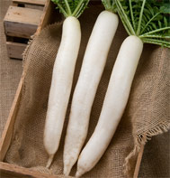 Summer Cross No. 3 Daikon Radish