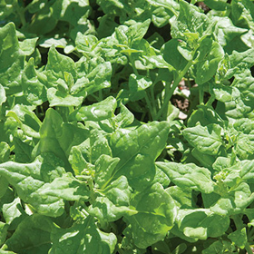 How to Grow Tetragonia aka New Zealand Spinach