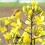 Bees on Flowering Kale