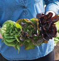 True Mini Head Lettuce Varieties