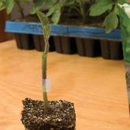 Tomato Rootstock from Johnny's