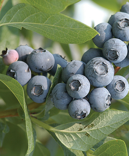 Blueberries; this is a highbush type, also known as New Jersey blueberries.
