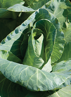 Caraflex Summer Mini Cabbage