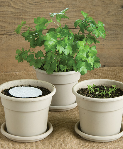 Three stages of parsley disks: newly planted, emergent, and fully mature.