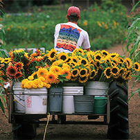Sunflower Planting Programs