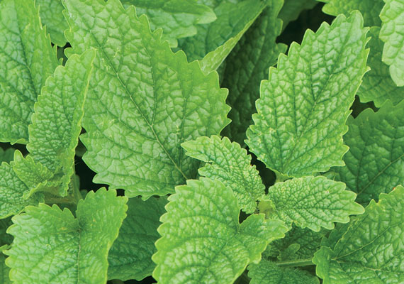 Ladylike lemon balm offers a sweet and subtle zing...