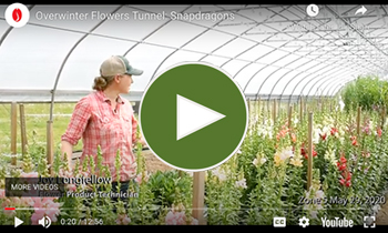 View Our Overwinter Flower Tunnel Snapdragons Video
