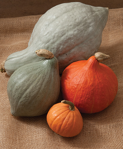 A group of hubbard squash of various types, shapes, and colors; red-skinned types should be consumed earlier than the others.