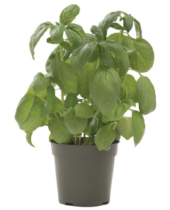Container-grown Eleonora Basil Plant
