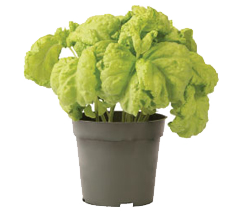 Container-grown Tuscany Basil Plant