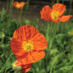 How to Grow Iceland Poppies