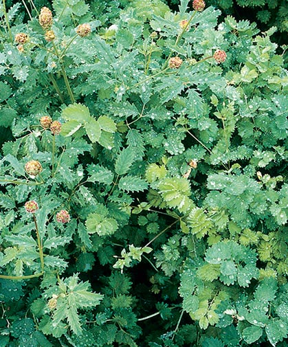 Mature planting of salad burnet following the rain; salad burnet prefers sandy, well-drained, slightly alkaline soil.