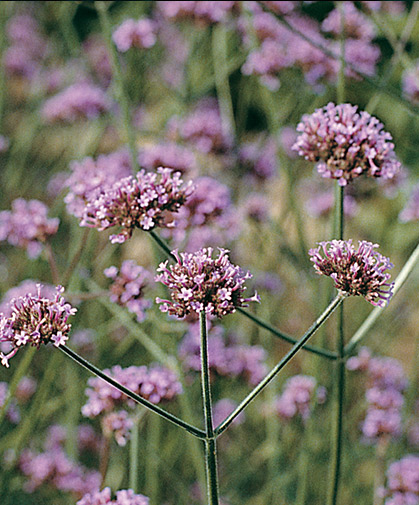 The tri-bloomed stalks of Verbena bonariensis are a tall, classic background species in the cutting garden.