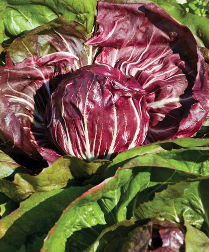 These big, bright, round heads of radicchio growing in our field trials, are of the classic Chioggia type.