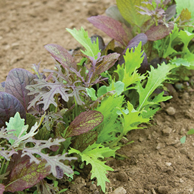 How to Grow Salad Mixes