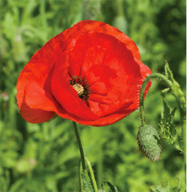 How to Grow Corn Poppies