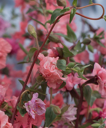 'Salmon,' an exquisite pink variety of Clarkia, a wildflower native to the Western U.S.