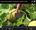 Galia-Type Tropical Melons