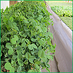 Hydroponic Pea Tendril Production