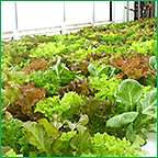 Lettuce under Hydroponic Production