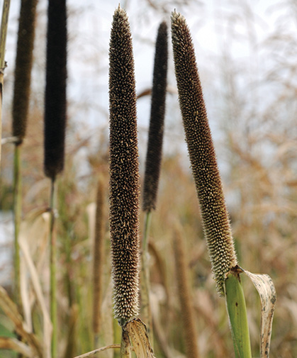 A planting of Pearl Millet can both serve as a green manure and provide silage for livestock and foraging wildlife.