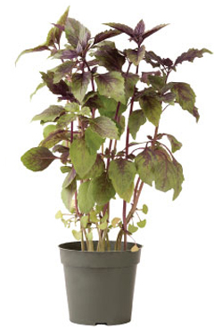 Container-grown Aromatto Basil Plant