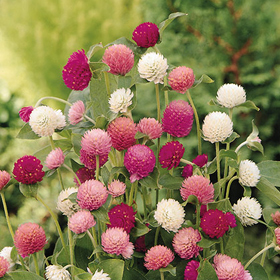 How to Grow Gomphrena (Globe Amaranth)