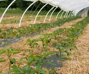 Freshly mulched and row-covered pepper transplants