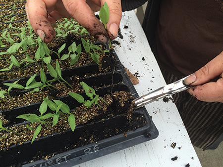 A widger can assist you in bumping up your tiny seedlings...