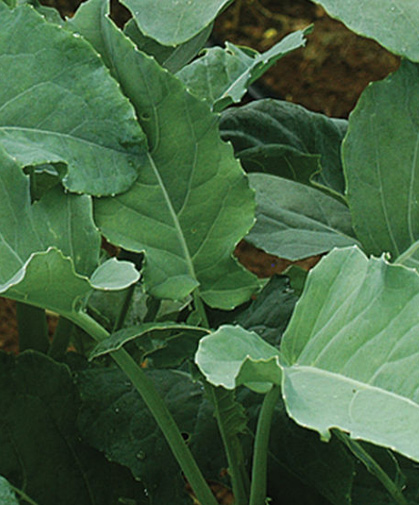 Leaf broccoli, best grown from transplants as you would standard heading broccoli.