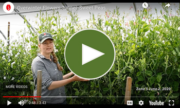 View Our Overwinter Flower Tunnel Sweet Peas Video