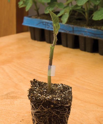 Rootstock tomatoes; this image depicts a scion variety grafted onto the rootstock and held in place by a grafting clip.