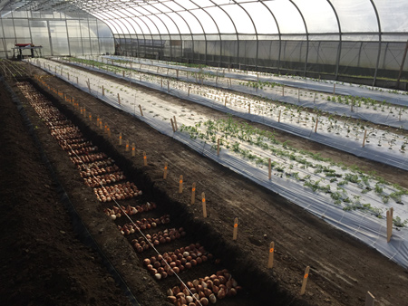 A recently planted overwinter flower trial tunnel. Photo taken Oct 24.