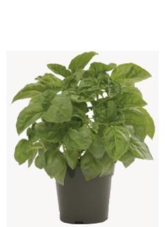 Prospera Italian Large Leaf DMR (ILL2) Basil Plant