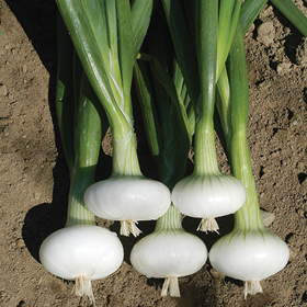 How to Grow Cipollini, Mini & Specialty Onions