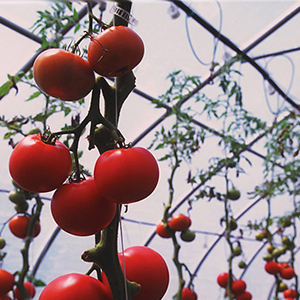 Greenhouse tomato varieties