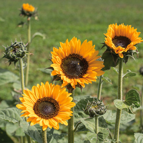 How to Grow Tall Sunflowers