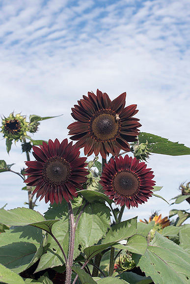 Chocolate is a branching sunflower variety that attracts and sustains pollinators.