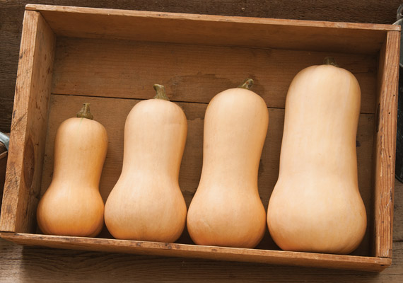 Butternut Squash Varieties