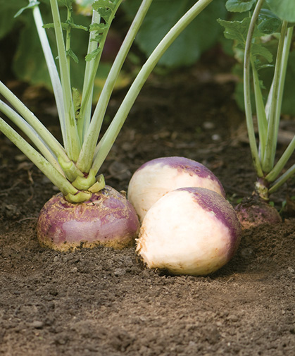 Rutabaga Growing Information Johnnys Selected Seeds