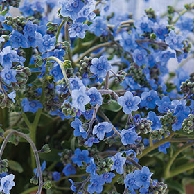 How to Grow Cynoglossum