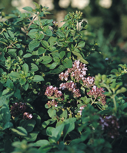 Wild marjoram, a half-hardy annual that prefers slightly dry soil and strong sunlight; seeds are slow to germinate.
